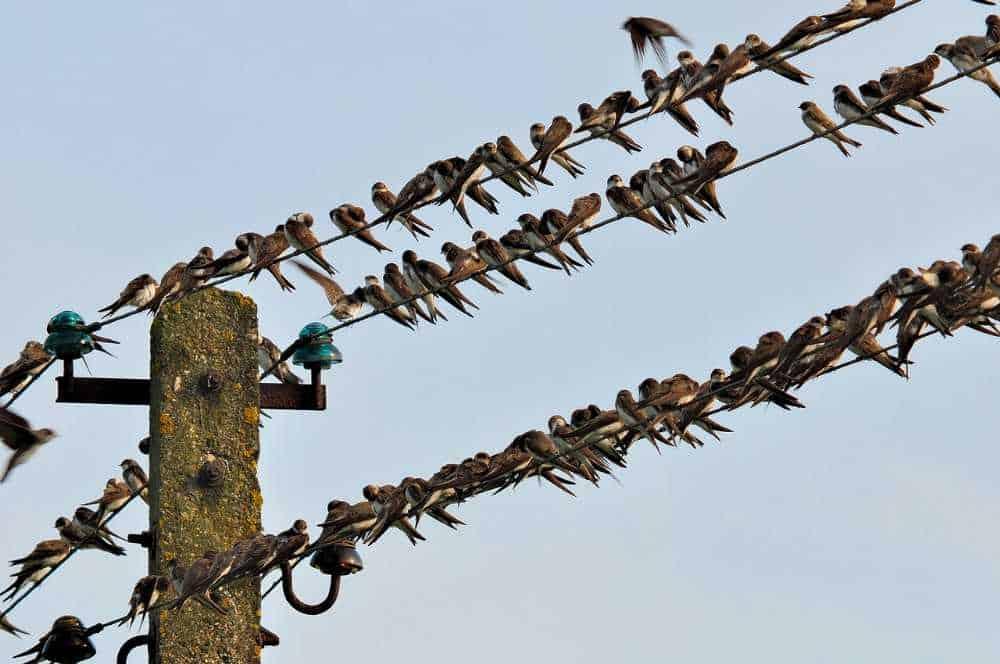 Schwalben-Vogelzug