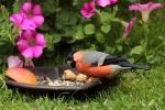 Gimpel-Vogelfutter